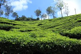 Coonoor Tea Plantations